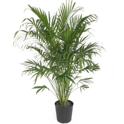Walmart – Delray Plants Cat Palm in 10″ Pot Only $14.31 (Reg $28.50) + Free Store Pickup